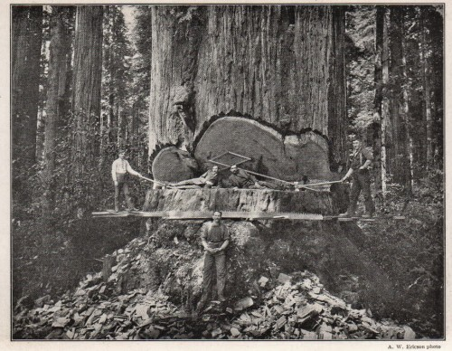 Redwood - 16 feet in diameter - 1909