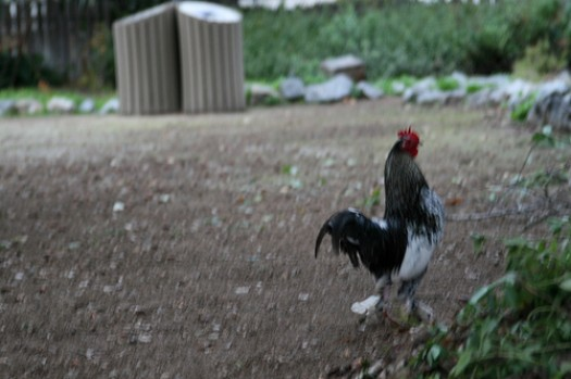 San Juan Bautista - Chicken